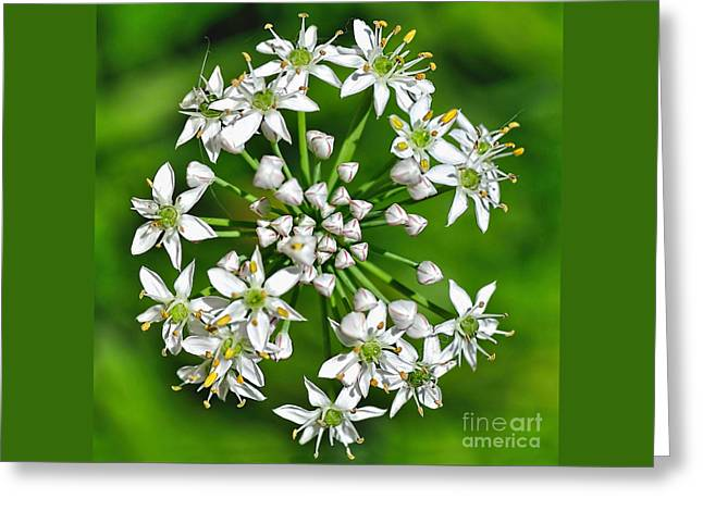 Flowering Garlic Chives Greeting Card by Kaye Menner