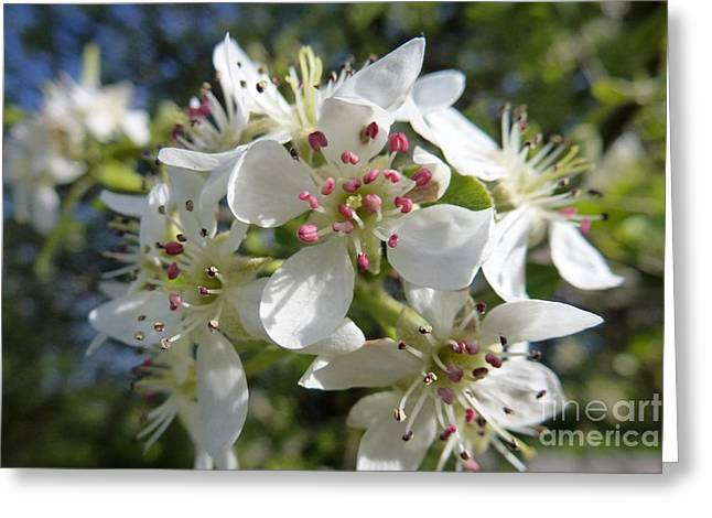 Flowering Of White Flowers 2 Greeting Card
