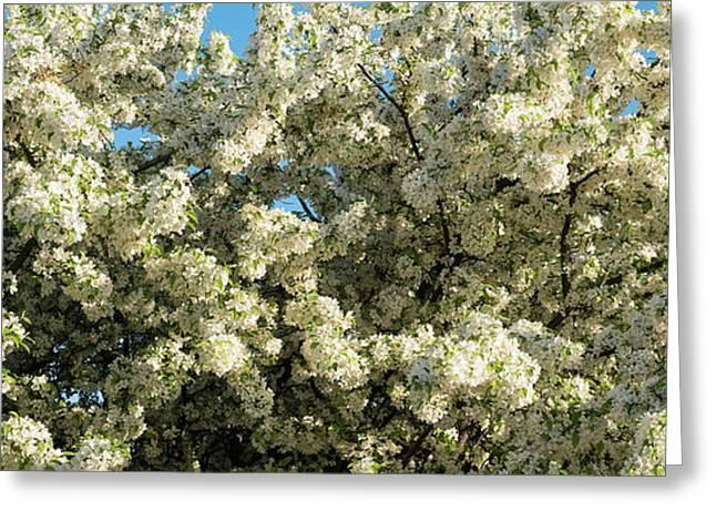 Pear tree greeting cards fine art america flowering pear tree greeting card m4hsunfo