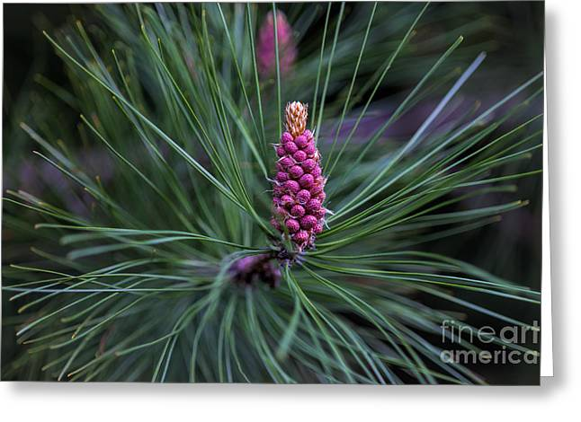 Flowering Pine Cone Greeting Card