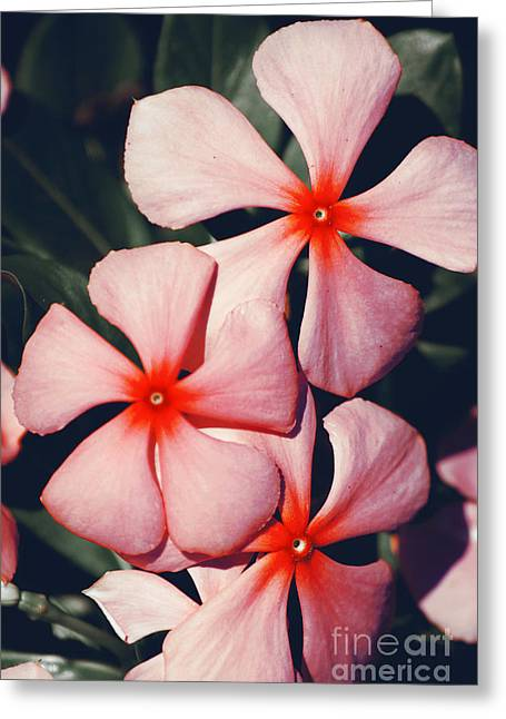 Flowering Pink Periwinkle Greeting Card by Jorgo Photography - Wall Art Gallery