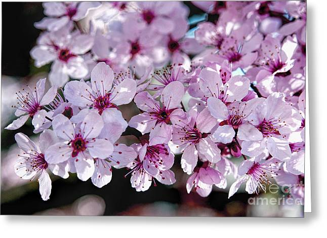Flowering Plum Greeting Card
