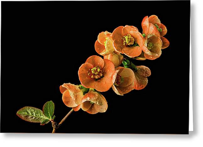 Greeting Card featuring the photograph Flowering Quince Orange by Mary Jo Allen