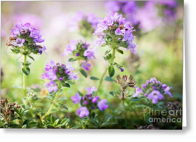 Flowering Thyme Greeting Card