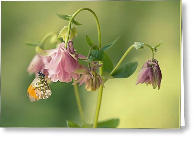 Orange Butterfly On Pink Columbine Flowers Greeting Card by Jaroslaw Blaminsky