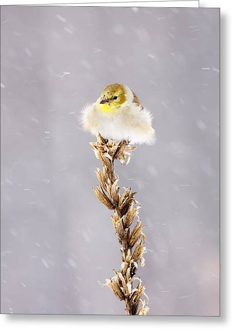 Fluffy American Goldfinch In A Snowstorm Greeting Card