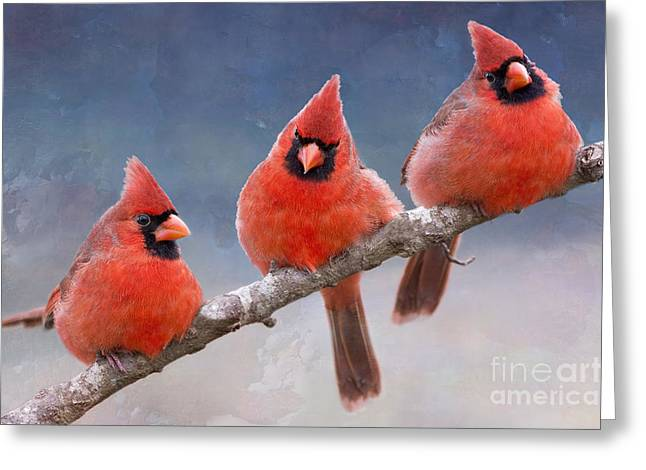 Fluffy Cardinal Trio Greeting Card
