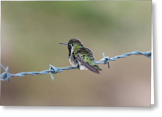 Fluffy Hummingbird Greeting Card