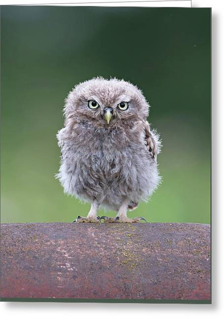 Fluffy Little Owl Owlet Greeting Card
