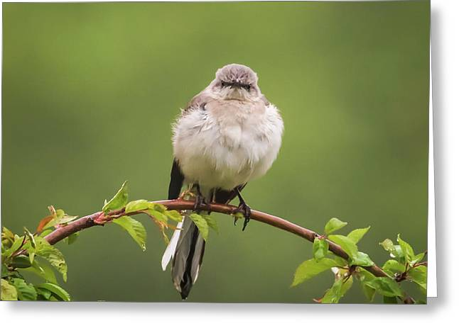 Fluffy Mockingbird Greeting Card by Terry DeLuco