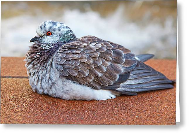 Fluffy Pigeon Greeting Card by Stephanie Hayes