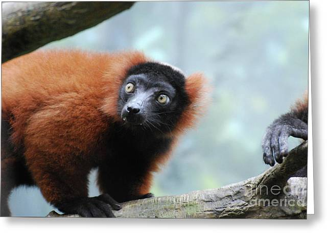 Fluffy Red Ruffed Lemur With Yellow Eyes Greeting Card by DejaVu Designs