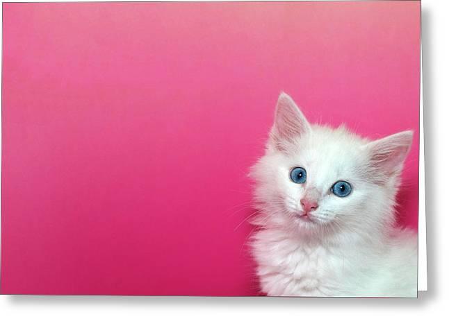 Fluffy White Kitten On Pink Greeting Card