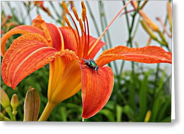 Fly Lilly Greeting Card