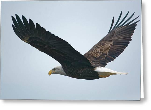 Flying Bald Eagle Greeting Card