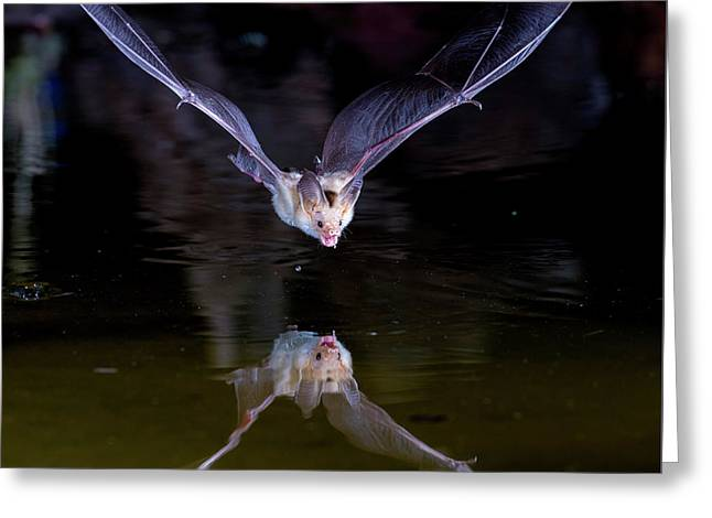 Flying Bat With Reflection Greeting Card
