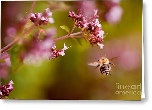 Flying Bumblebee Taking Nectar Greeting Card