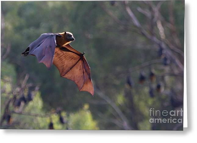 Flying Fox In Mid Air Greeting Card
