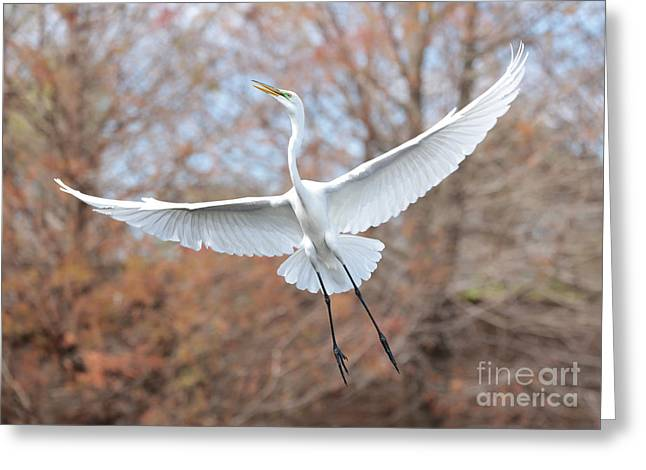 Flying Great Egret In Brown Greeting Card by Carol Groenen