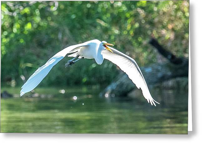 Flying Great Egret Greeting Card