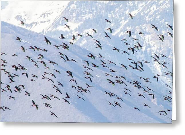 Flying High - White Faced Ibis Greeting Card by TL Mair