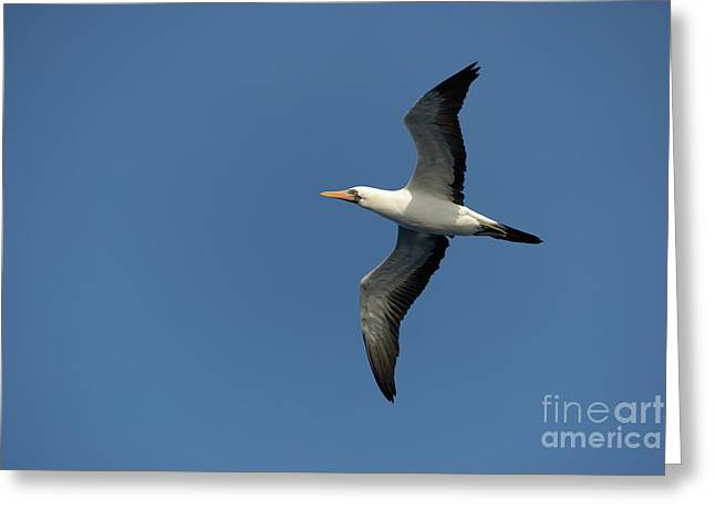 Flying Masked Booby In Flight Greeting Card by Sami Sarkis