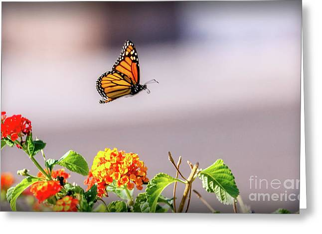 Flying Monarch Butterfly Greeting Card