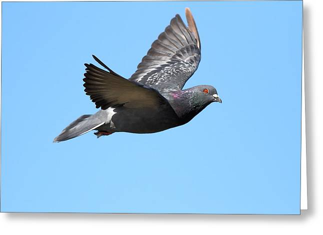Bird In Flight Greeting Cards - Flying Pigeon . 7D8640 Greeting Card by Wingsdomain Art and Photography