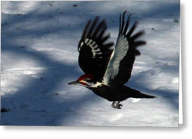 Flying Pileated Woodpecker Greeting Card