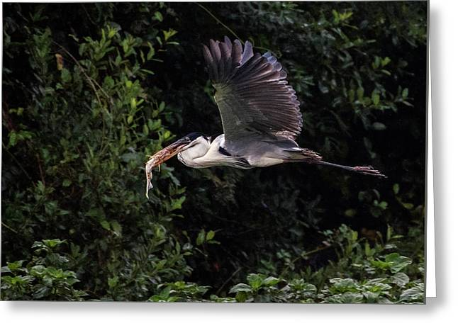 Greeting Card featuring the photograph Flying With Lunch by Wade Aiken