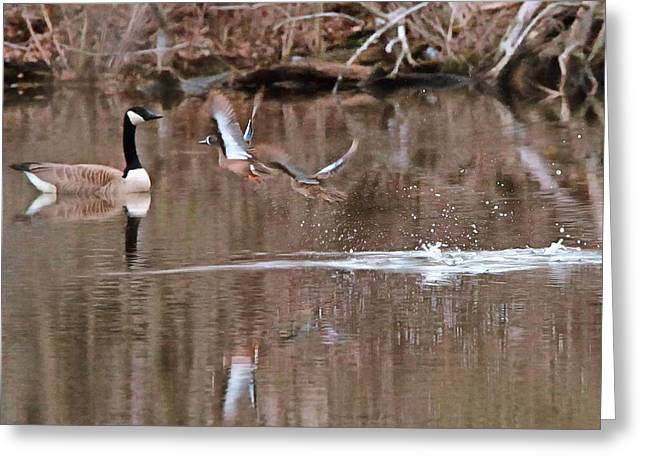 Flying Wood Ducks And Canada Goose Greeting Card by Dan Sproul