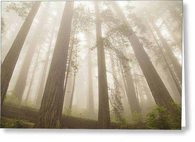 Fog And Redwoods Greeting Card by Kunal Mehra