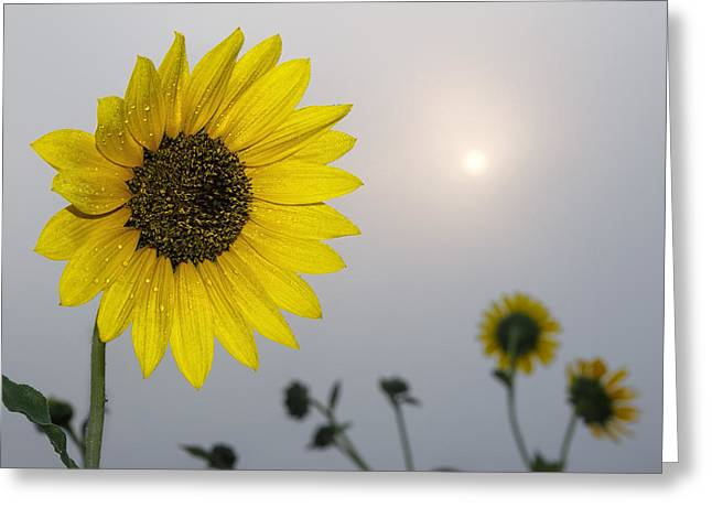 Foggy Sunflowers Greeting Card