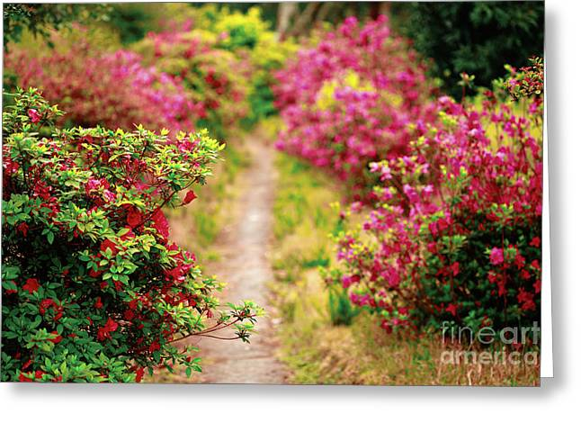 Footpath With Azaleas Greeting Card by Gaspar Avila