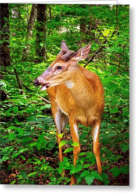 Foraging Deer Greeting Card by Carolyn Derstine