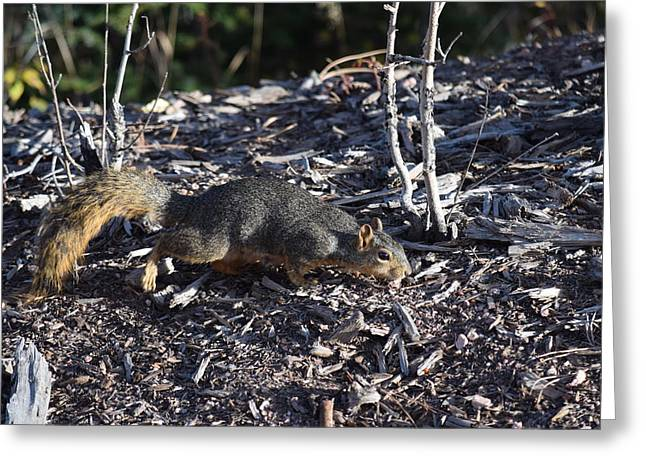 Squirrel Pprh Woodland Park Co Greeting Card