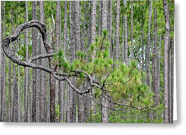 Forest Bonsai Pine Greeting Card by rd Erickson