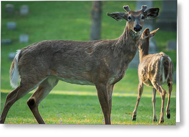 Forest Lawn Spring Buck Greeting Card by Chris Bordeleau