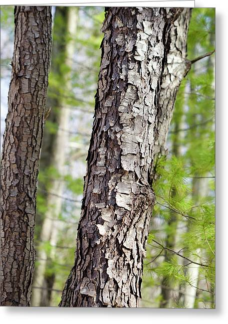 Greeting Card featuring the photograph Forest Trees by Christina Rollo