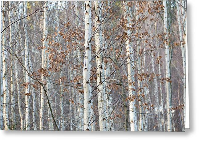 Forest With Birch Trees In December Greeting Card by Matthias Hauser