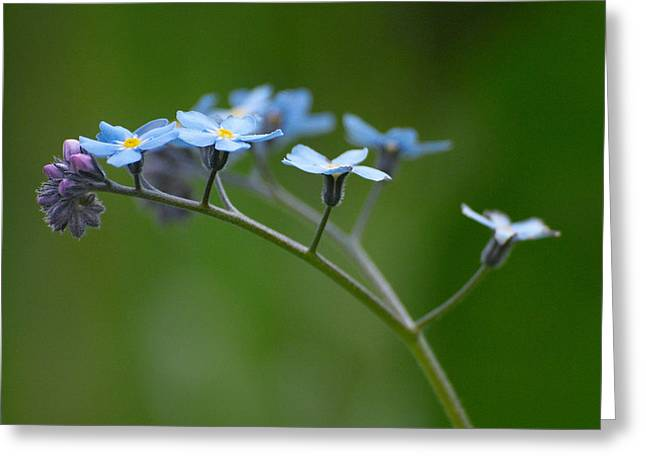 Forget-me-not 2 Greeting Card by Jouko Lehto
