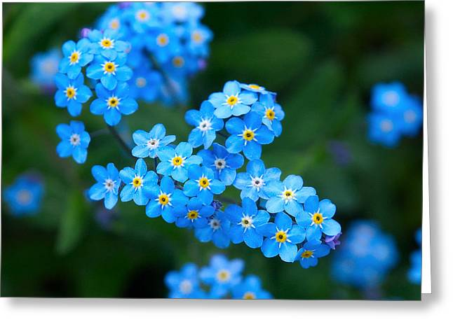 Forget -me-not 5 Greeting Card