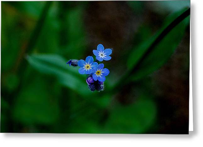 Forget Me Not  Greeting Card by Marilynne Bull