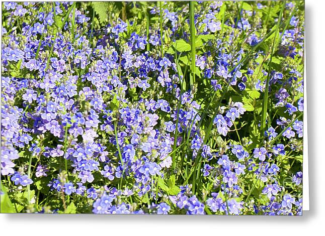 Forget-me-not - Myosotis Greeting Card