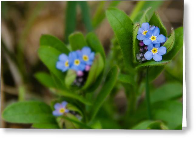 Forget Me Not Softly Greeting Card