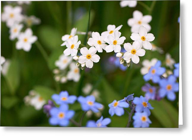 Forget Me Nots Greeting Card