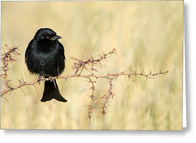 Fork-tailed Drongo Dicrurus Adsimilis Greeting Card by Panoramic Images