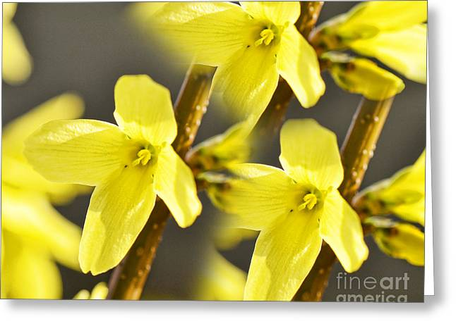 Forsythia Three Greeting Card