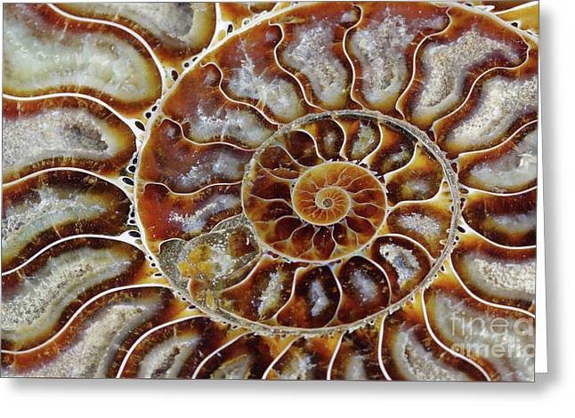 Fossilized Ammonite Spiral Greeting Card