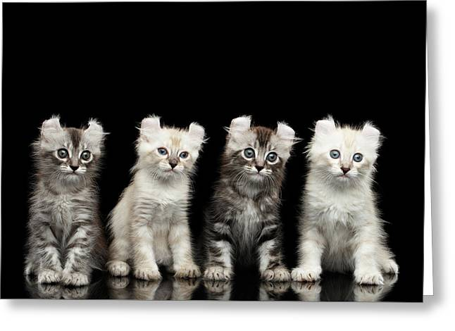 Four American Curl Kittens With Twisted Ears Isolated Black Background Greeting Card